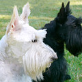Scottish Terrier Dogs by Jennie Marie Schell