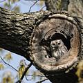 Screech Owl In A Tree Hollow by Darlyne A. Murawski