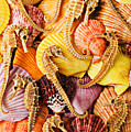 Sea Horses And Sea Shells by Garry Gay