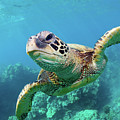 Sea Turtle, Hawaii by Monica and Michael Sweet