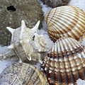 Seashells by Frank Tschakert