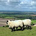 Sheep At Westbury Tor by Kurt Van Wagner