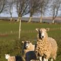 Sheep, Lake District, Cumbria, England by John Short