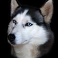 Siberian Husky Dog by Julie L Hoddinott