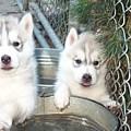 Siberian Husky Puppies by Jean Gugliuzza