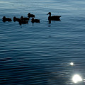 Silhouetted Duck Family Swims by Todd Gipstein