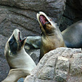 Singing Sea Lions by Anthony Jones