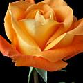 Single Orange Rose by Garry Gay