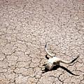 Skull In Desert by Kelley King
