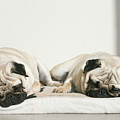 Sleeping Pug Dogs by Elli Luca