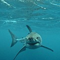 Smiley Shark by Crystal Beckmann