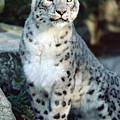 Snow Leopard Uncia Uncia Portrait Print by Gerry Ellis