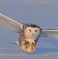 Snowy Owl Last Light by Scott  Linstead