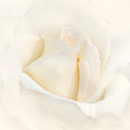Softness of an Ivory Rose Flower