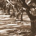 Southern Sunlight On Live Oaks by Carol Groenen