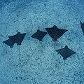 Spotted Eagle Rays by Dave Fleetham - Printscapes