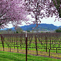Spring Blossoms Near Calistoga by Charlene Mitchell