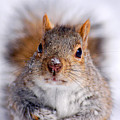 Squirrel Portrait by Mircea Costina Photography