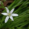 Star Of Bethlehem Flower by Brent Parks