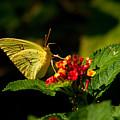 Sulpher Butterfly On Lantana by Douglas Barnett