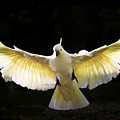 Sulphur Crested Cockatoo In Flight by Avalon Fine Art Photography