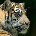 Sumatran Tiger by Mary Lane