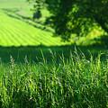 Summer Fields Of Green by Sandra Cunningham