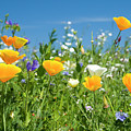 Summer Flowers by Sophie De Roumanie
