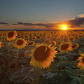 Sunflower Field - Colorado by Lightvision, LLC