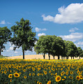 Sunflower Field 2 by SK Pfphotography