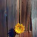 Sunflower In Barn Wood by Garry Gay