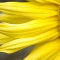 Sunflower by Mary Van de Ven - Printscapes