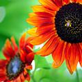 Sunflowers  by Mark Ashkenazi