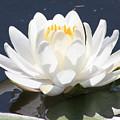 Sunlight On Water Lily by Carol Groenen