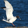 Swallow Tailed Gull Landing by Alan Lenk