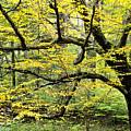 Swamp Birch In Autumn by Thomas R Fletcher