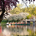 Swan Boats With Apple Blossoms by Susan Cole Kelly