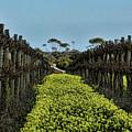 Sweet Vines by Douglas Barnard