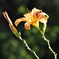 Tasmania Day Lily by Penny Neimiller