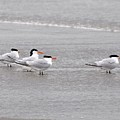Terns Wading by Al Powell Photography USA