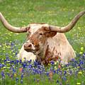 Texas Longhorn In Bluebonnets by Jon Holiday