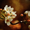 The Fleeting Sweetness Of Spring by Lois Bryan