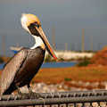 The Most Beautiful Pelican by Susanne Van Hulst