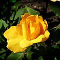 The Yellow Rose Of Garden by Tom Buchanan