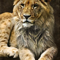 The Young Lion by Angela Doelling AD DESIGN Photo and PhotoArt