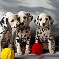 Three Dalmatian Puppies  by Garry Gay