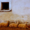 Three Wise Sheep by Maggie McLaughlin