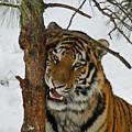 Tiger 3 by Ernie Echols
