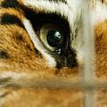 Tiger Behind Bars by Melody Watson