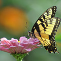 Tiger Swallowtail Butterfly by Bill Cannon
